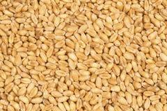 Зерна пшеницы стоковые изображения