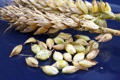 Зерна пшеницы Стоковые Изображения RF
