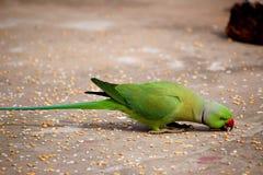 Зерна рудоразборки попугая с клювом Стоковое фото RF