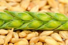 Зерна ячменя и зеленый макрос уха Стоковое Изображение RF