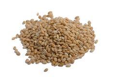 Зерна ячменя Стоковая Фотография RF