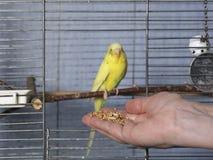 Зерна для попугая Стоковые Изображения
