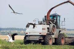 Зернокомбайн и аисты Стоковое Фото