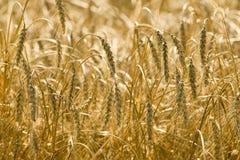 зерно возмужалое Стоковое Фото