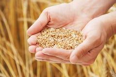 зерно вручает пшеницу персоны Стоковое Изображение RF