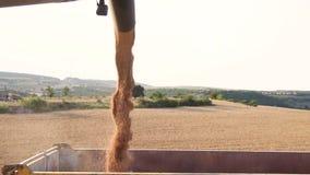 Зерно жатки комбайна нагружая в трейлер тележки Лить зерно пшеницы в прицеп для трактора после сбора на поле видеоматериал