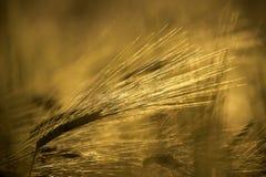 Зерно золота Стоковая Фотография RF