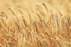 Зерно зрело стоковое фото