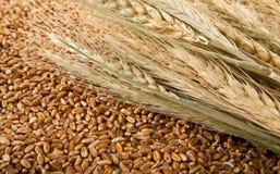 Зерно и кукурузные початки пшеницы Стоковая Фотография RF