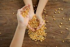 Зерно маиса в руке Стоковые Изображения