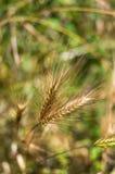 Зерно на ударе Стоковое Изображение RF