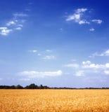 зерно поля Стоковое Фото