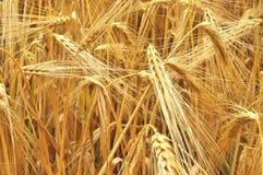 зерно поля стоковое изображение rf