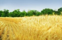 зерно поля Стоковая Фотография RF