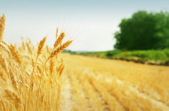 зерно поля Стоковые Изображения RF