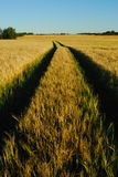 зерно поля Стоковая Фотография