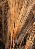 зерно поля Стоковые Фотографии RF