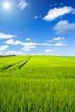 зерно поля Стоковое Изображение
