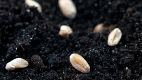 Зерно пшеницы стоковое изображение rf
