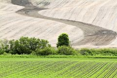 Зерно растет на поле весны Стоковая Фотография