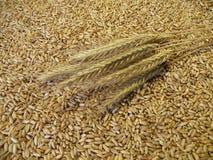 зерно уха Стоковые Фото