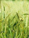 зерно ушей Стоковое фото RF