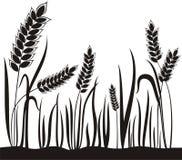 зерно ушей Стоковое Фото