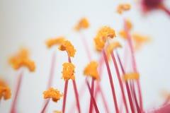 Зерно цветня микроскопическое тело которое содержит мужское reprod Стоковые Фотографии RF