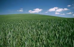 зерно Стоковое Изображение