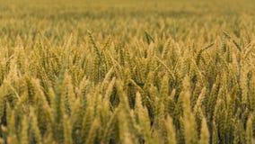 Зерно Стоковые Изображения RF