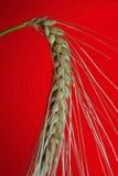 зерно Стоковые Фото