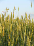зерно Стоковое фото RF