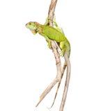 Зеленая агама вползая на сухой ветви белизна изолированная предпосылкой Стоковое Изображение RF