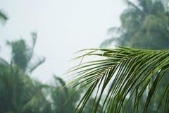 Зеленая ладонь кокосов выходит на белую предпосылку облачного неба Пальма во время сезона дождя Стоковая Фотография