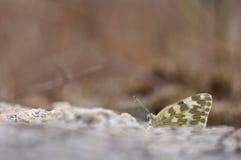 Зеленая бабочка отдыхая на поле Стоковое Изображение
