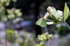 Зеленая бабочка Стоковое Изображение