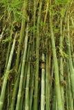 Зеленая бамбуковая текстура дерева Стоковые Фотографии RF