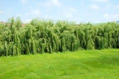 Зеленая верба и зеленая трава Стоковое Изображение