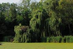 Зеленая верба на банке пруда Стоковое фото RF