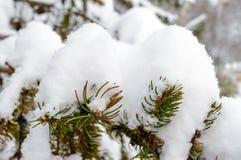 Зеленая ветвь ели под крышкой снега Стоковое Изображение