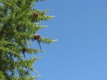 Зеленая ветвь ели с конусами на голубой предпосылке Стоковое Изображение RF