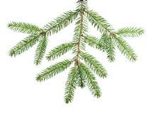 Зеленая ветвь ели для украшения Стоковая Фотография