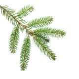 Зеленая ветвь ели для украшения Стоковое фото RF