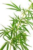 Зеленая ветвь конопли Стоковое Изображение RF
