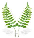 Зеленая ветвь папоротника Стоковые Фото