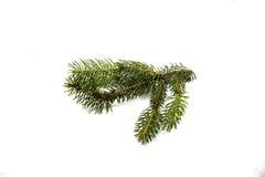 Зеленая ветвь сосны на белой предпосылке Стоковое Изображение RF