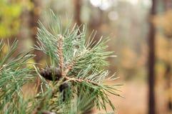 Зеленая ветвь сосны с конусами в лесе осени Стоковая Фотография