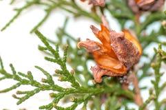 Зеленая ветвь arborvitae с открытыми конусами Стоковые Фото