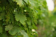 Зеленая виноградина стоковые фото