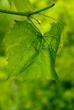 Зеленая виноградина Стоковая Фотография RF